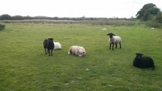 Dog Walk Sheep